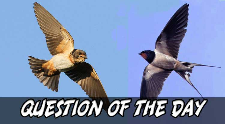 Swallow Question of the Day